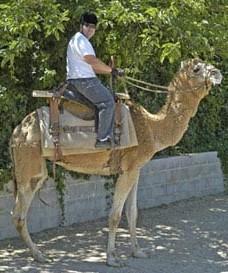 Camel Ride1 - Camel Rides