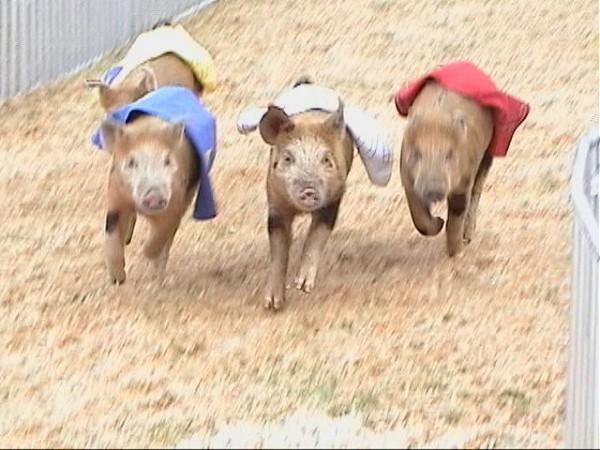 dsc000991 - Pig Racing