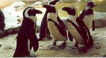 penguins1 - Penguins